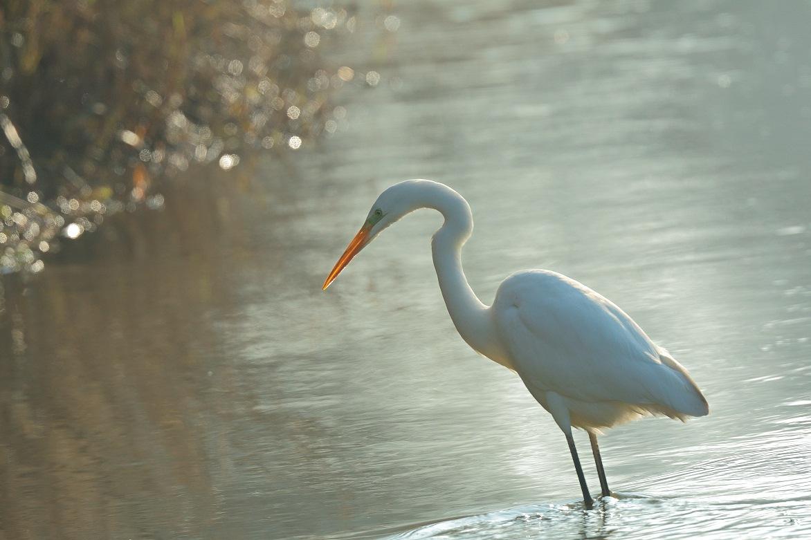 Grote Zilverreiger – Great egret
