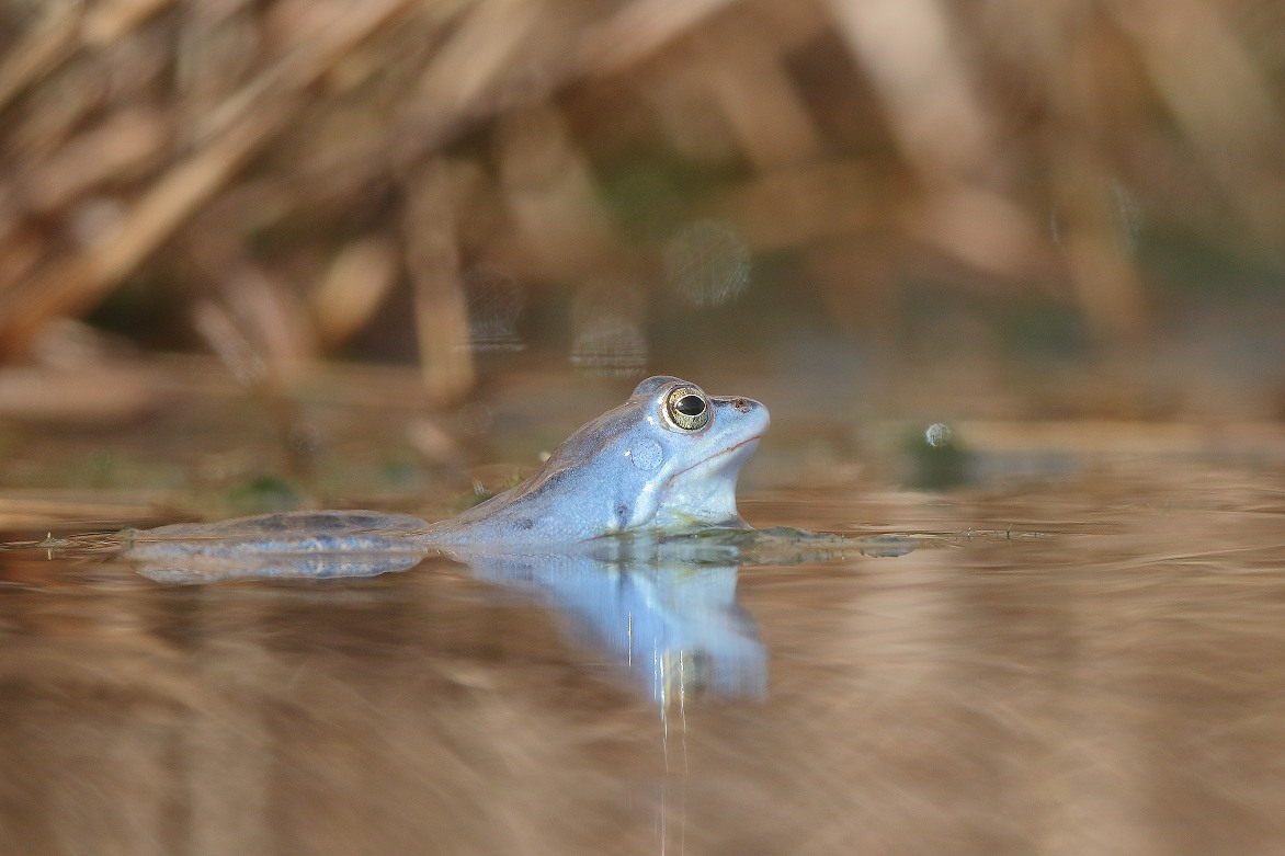 Heikikker – Moor frog