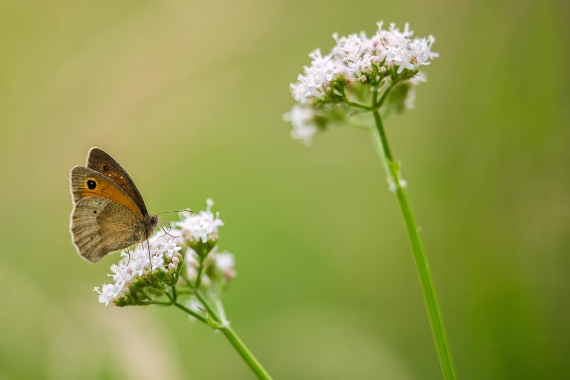Bruin zandoogje – Meadow Brown
