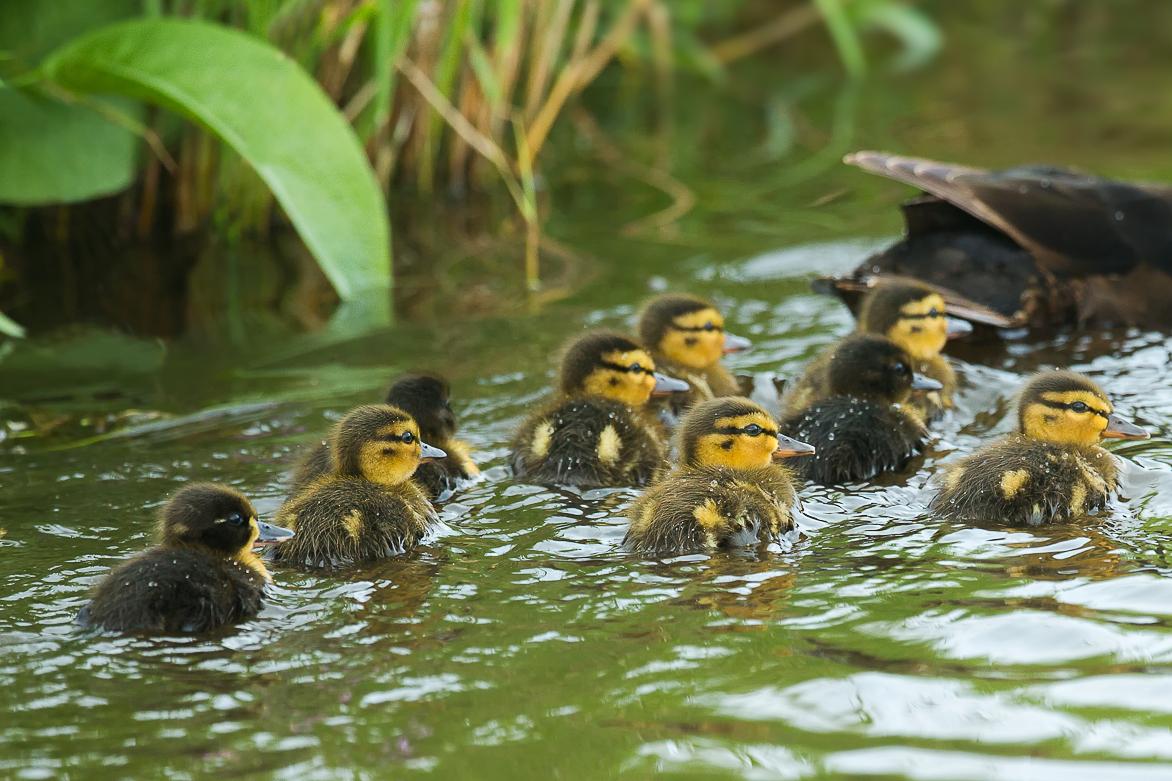 Eendjes in de Hempolder – Baby ducks in the Hempolder