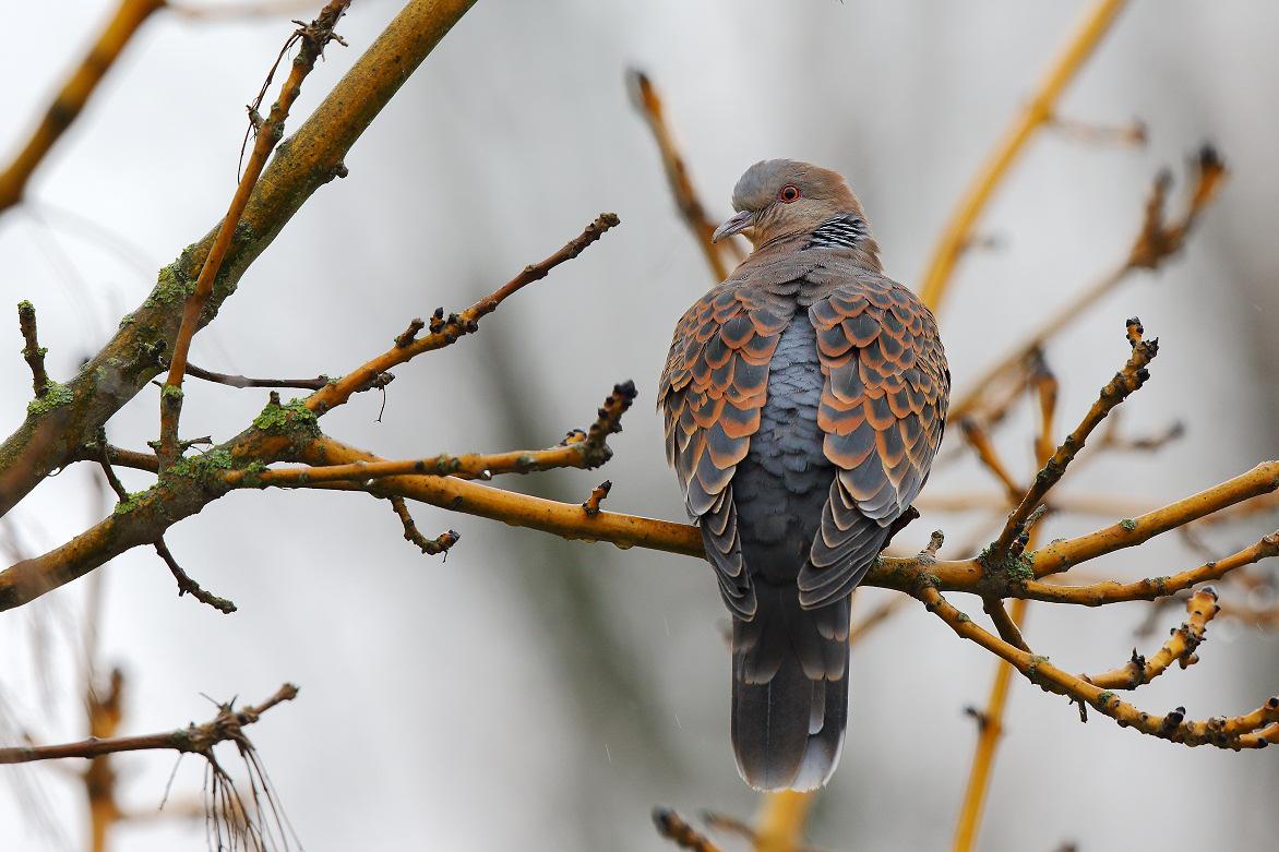 Oosterse tortel – Oriental turtle dove