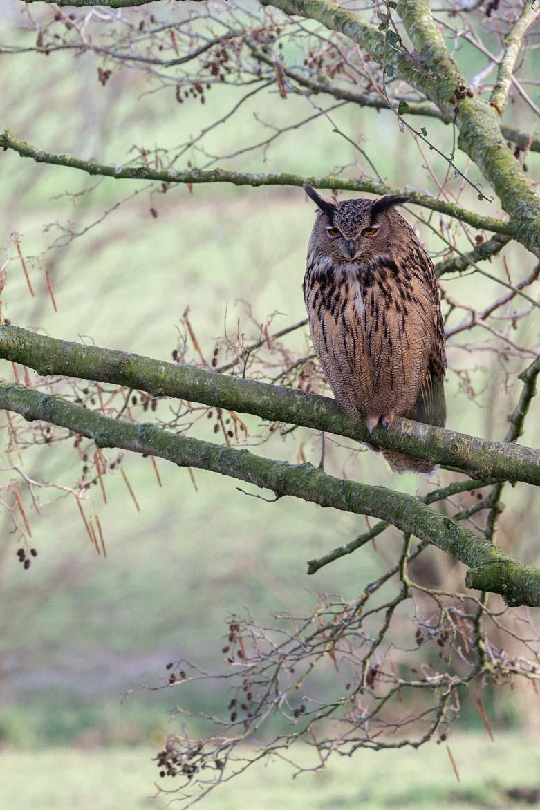 Oehoe – Eurasian Eagle Owl