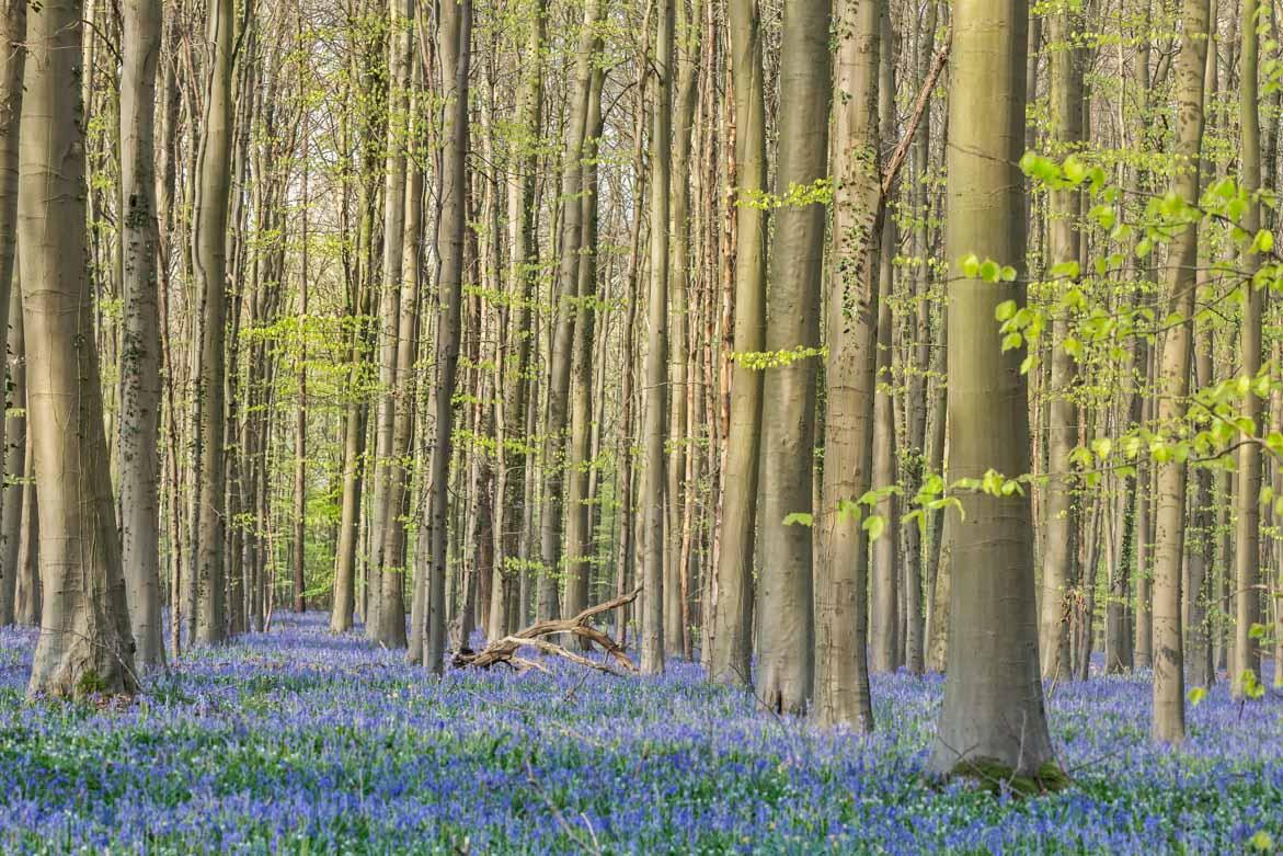 Hallerbos – Haller forest