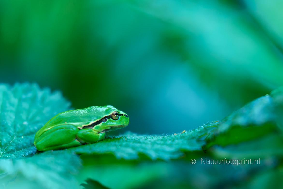 Boomkikker – Treefrog