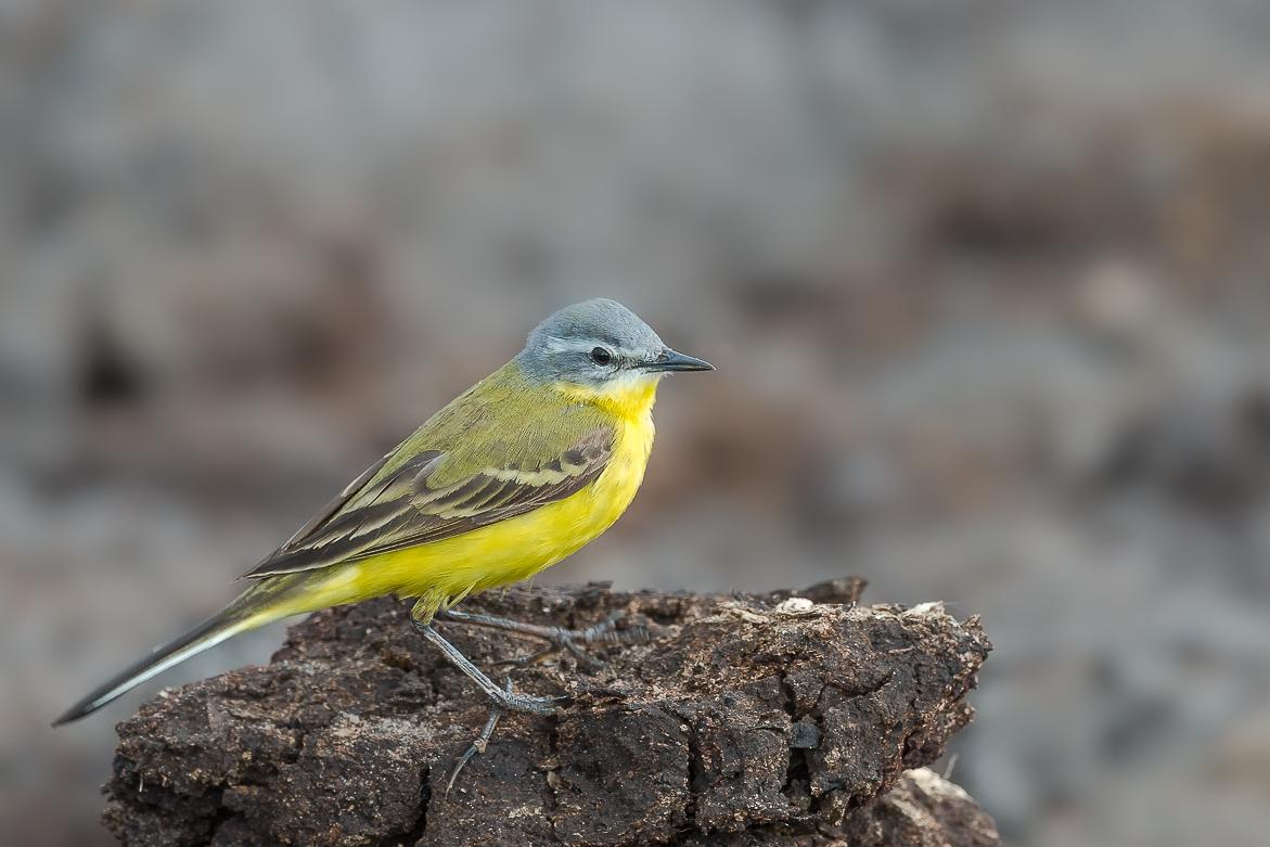 Gele Kwikstaart – Yellow Wagtail