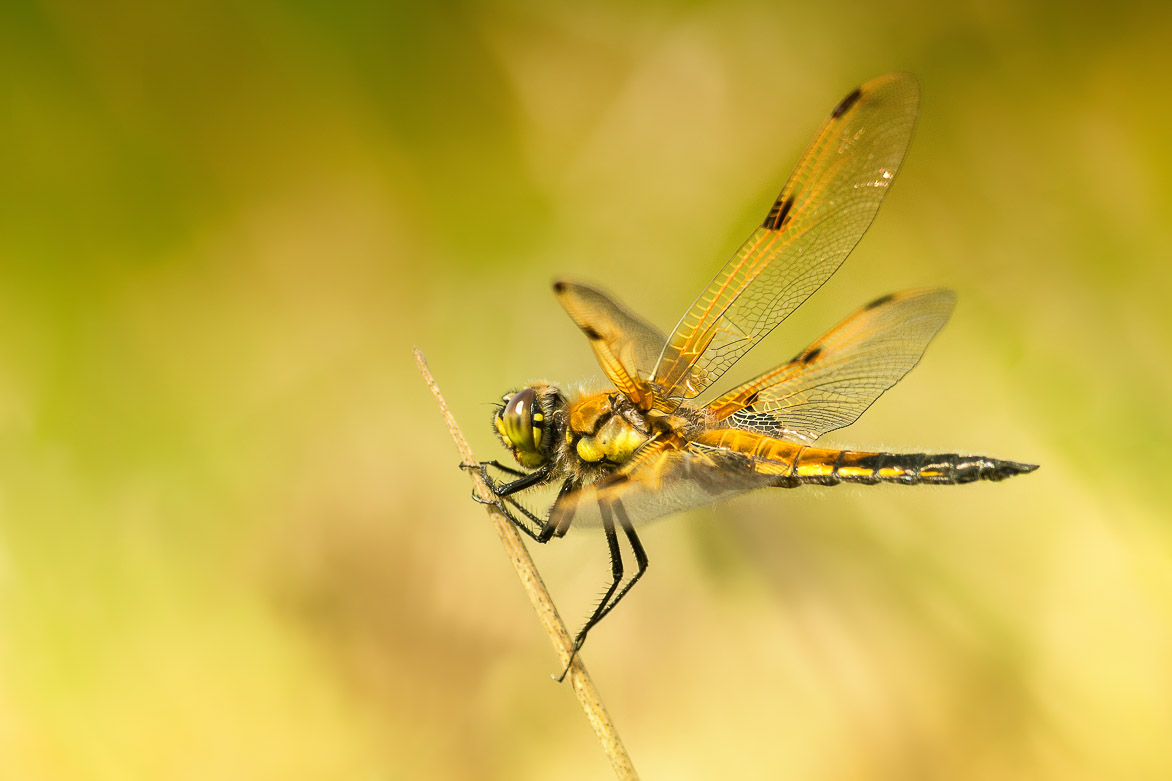 Viervlek – Four-Spotted Chaser