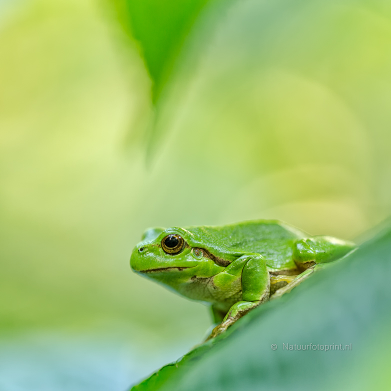 Boomkikker – European Treefrog