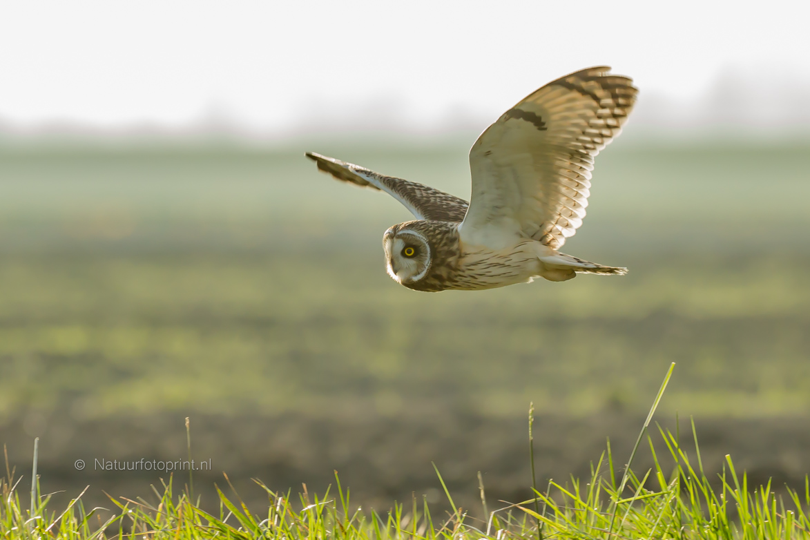 Velduil – Short eared owl