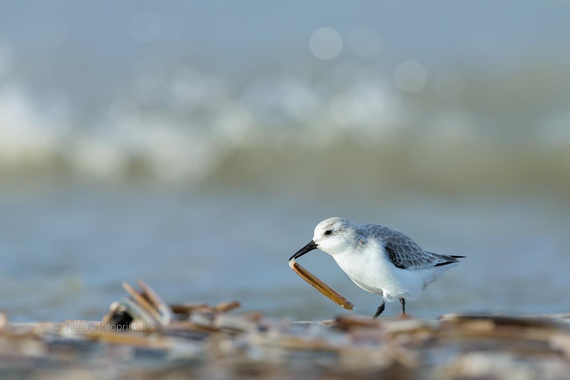 Drieteenstrandloper – Sanderling