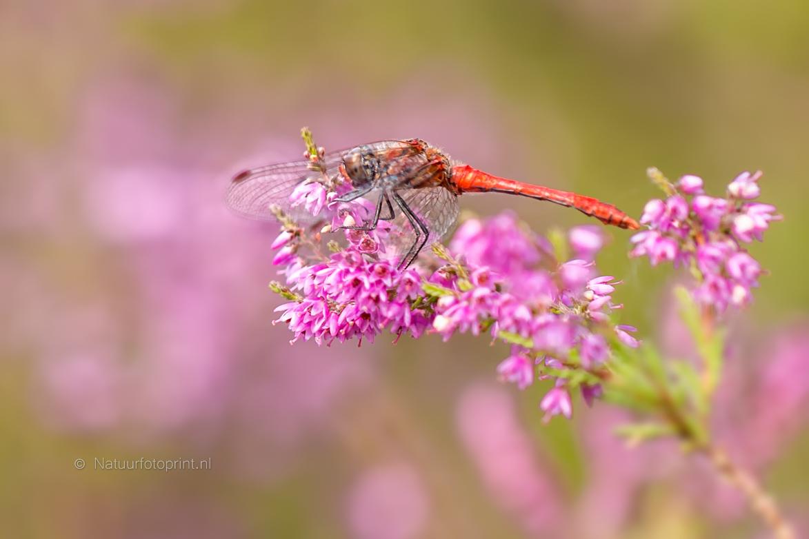 Bloedrode Heidelibel – Ruddy Darter