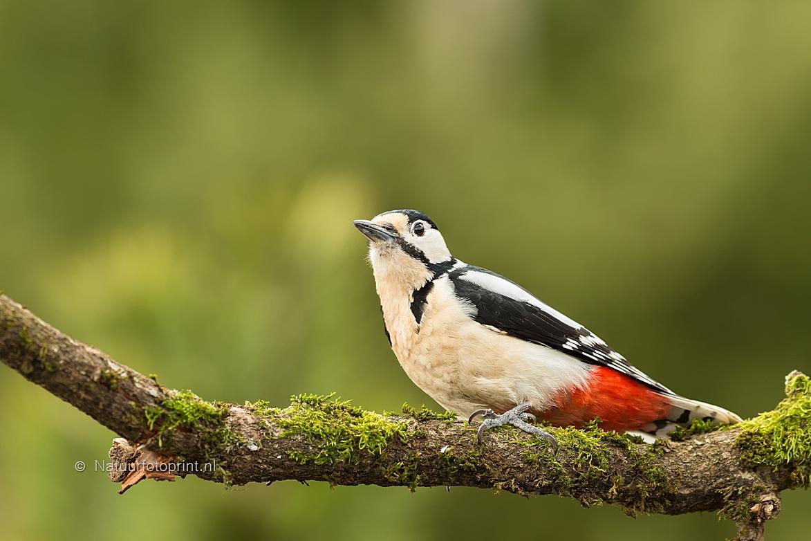 Grote Bonte Specht – Great Spotted Woodpecker