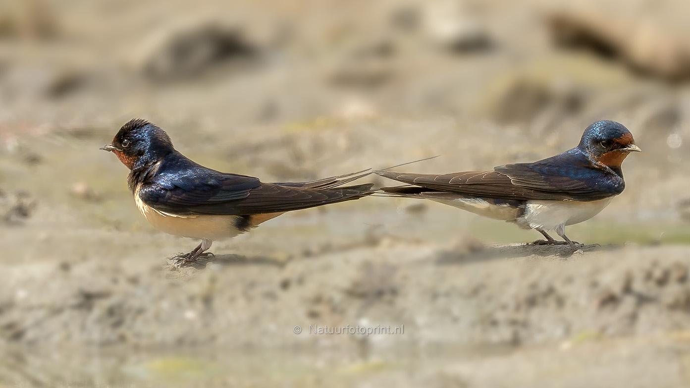Boerenzwaluw – Barn Swallow