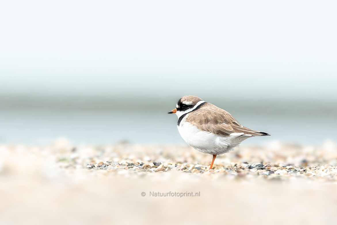 Bontbekplevier – Common ringed plover