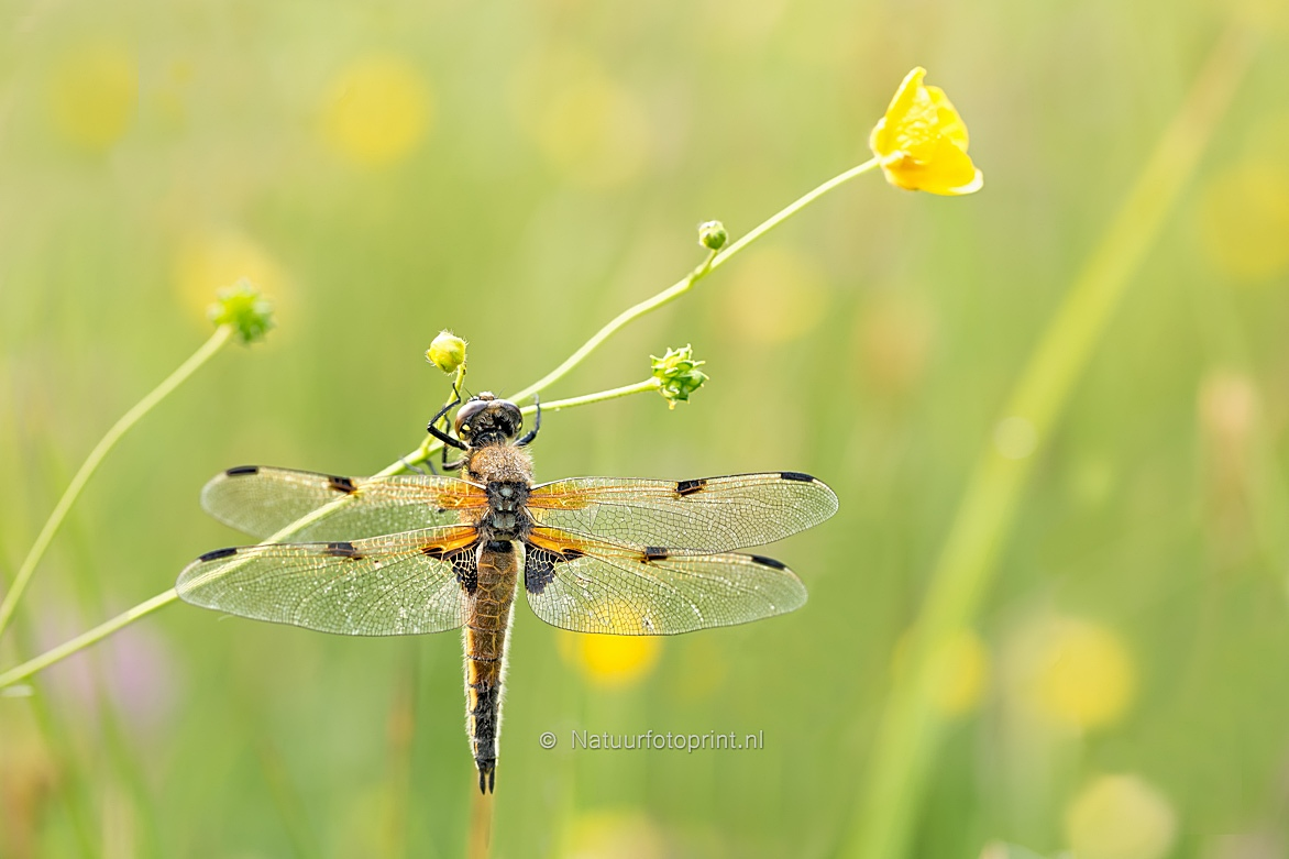 Viervlek – Four-Spotted-Chaser