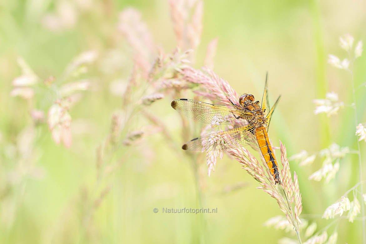Bruine korenbout – Scarce Chaser