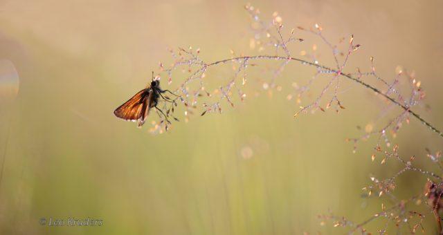 Skipper (butterfly) – Dikkopje