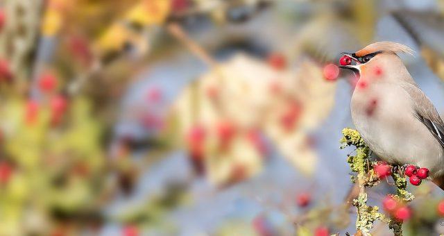 Pestvogel – Waxwing