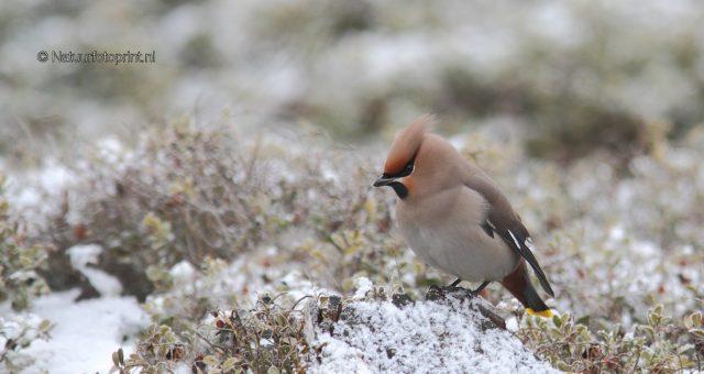 Bohemian waxwing in the snow – Pestvogel in de sneeuw
