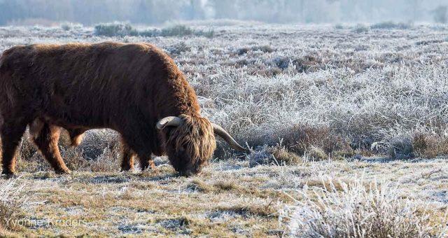 Schotse Hooglander –  Scottish Highland Cow