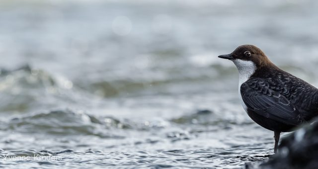 Zwartbuikwaterspreeuw – White-throated dipper