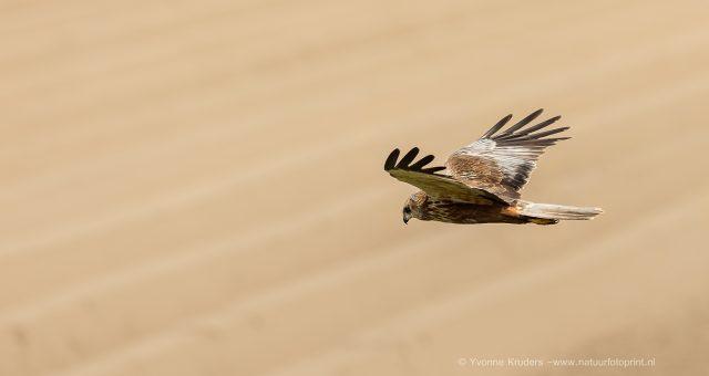 Bruine Kiekendief -Western Marsh Harrier