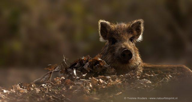 Frisling – Young wild boar